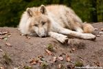 Tired Arctic Wolf Cub by amrodel