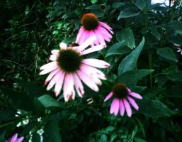 A Purple Cone Flower by 1conchi