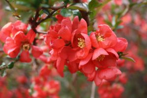 Quince by MeFlyingFree