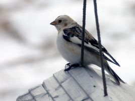 snow bunting 4 by LucieG-Stock