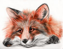 Lazy Fox by coonotafoo
