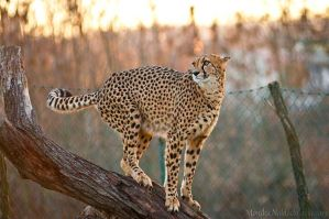 Winter Cheetah II by amrodel