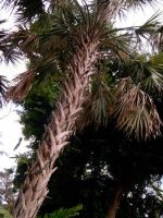 Spiky Trunk Palm by Isbet