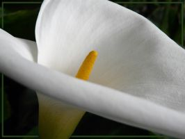 calla lily by ariseandrejoice