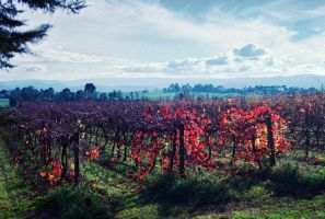 Victorian vinyard by doctor-a