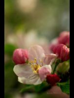 Someday an Apple by Sauroman