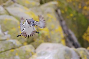 Razorbill with Sandeels by joeelway