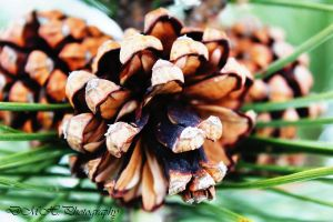 Pinecones by photographygirl13