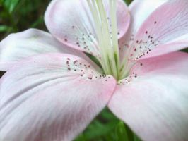 Pink Lilly by hexihash