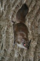 Flying Squirrel by BirdyLee