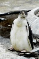 Gentoo Penguin Chick by Shadow-and-Flame-86
