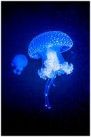 Little jellyfish by Uchoose
