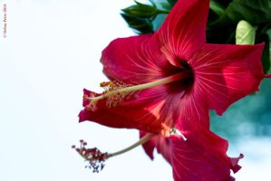 Hibiscus and its Reflection by BettyBoopRox