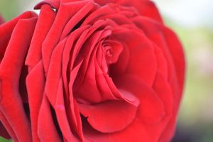 Red rose by laffa