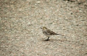 White Wagtail by s-ense