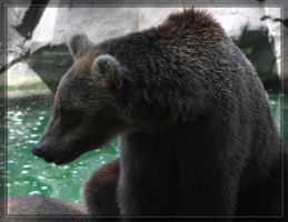 Grizzly Bear 40D0017266 by Cristian-M