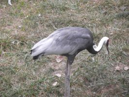 White Crowned Crane 2 by dragons011