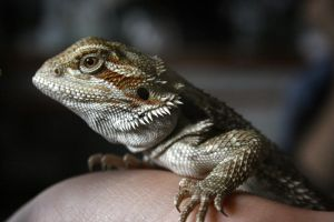 Bearded Dragon by tash23