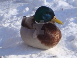 Duck 1 by FadingShade