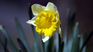 Lent lily by Rainyphoto