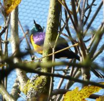 Superb Starling by Track-Maidens