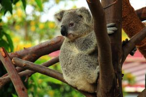 Lookout Koala is on the Job by Celem