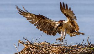 Momma Osprey Returns by Grouper
