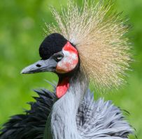 Black Crowned Crane by Daniel-Wales-Images