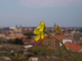 Diplotaxis sp. by buffyka