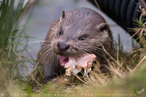 Otter munchies by linneaphoto