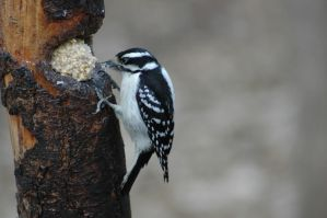Hairy Woodpecker by highlyimprobable