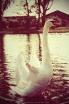 Swan by lauramejer