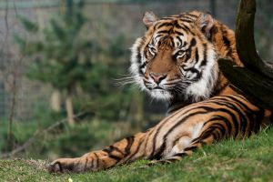 4490 - Sumatran Tiger by Jay-Co