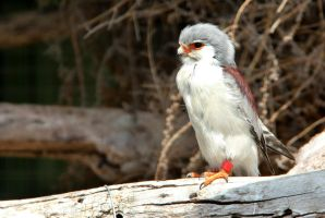 African Pygmy Falcon by MaresaSinclair