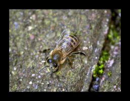 Bee by Hector42