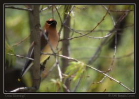Cedar Waxwing I by Bladewing-Flash