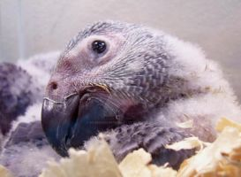 African Grey Baby by WildernessNaturalist
