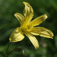 .lily. by vw1956stock