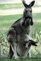 Kangaroo Yoga by cakecrumbs