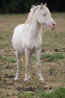 White pony 13 by CitronVertStock