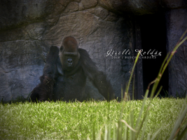Gorilla by TheWitchNamine