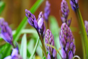 Bluebell Buds by Ellie-S