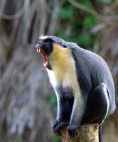 Diana Monkey by naturelens