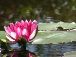 The lone Waterlily by MrSlowNiko