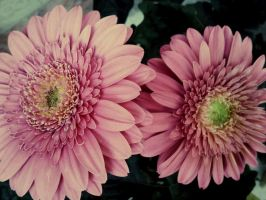 Gerbera .5 by demeters