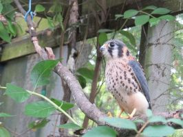 American Kestrel 5 by Windthin