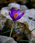 March Crocus by bamako