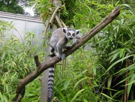 Ring-tailed Lemur Baby by JollyStock