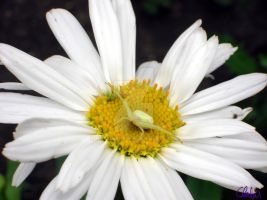 Spider on a Daisy by Chalax91