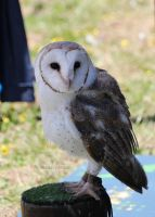 Barn Owl by Sarah-Vafidis